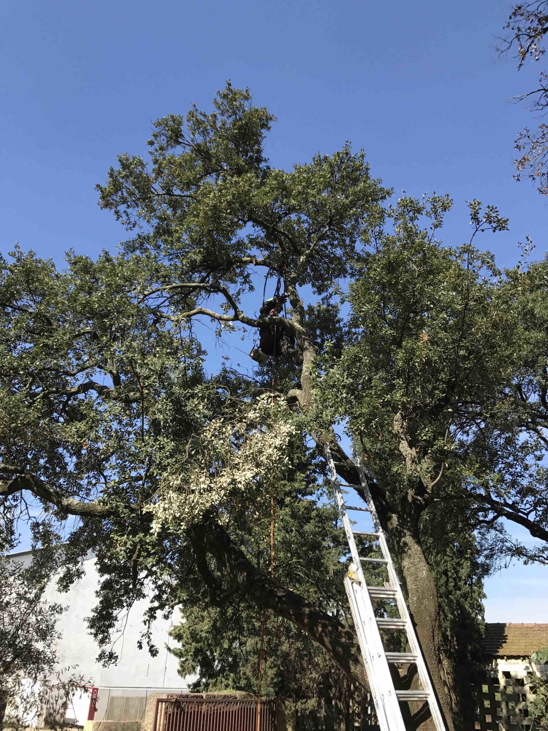 Taille d'arbres feuillus par AC Paysage - Élagage et soin des feuillus