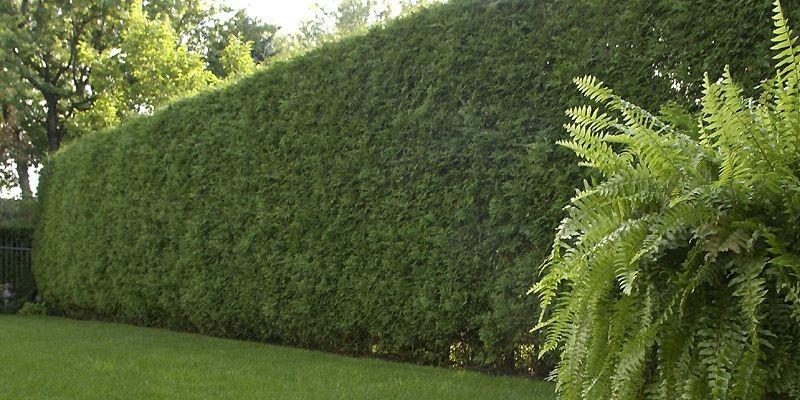 Entretien parc et jardin avec AC Paysage pour l'Agglomération de Nimes - haie de thuyas